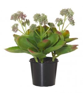 FLOWERING KALANCHOE | GARDEN POT