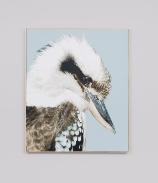 KOOKABURRA · FRAMED CANVAS