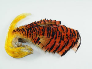 orange and black golden pheasant feathers with the bright gold crest feathers