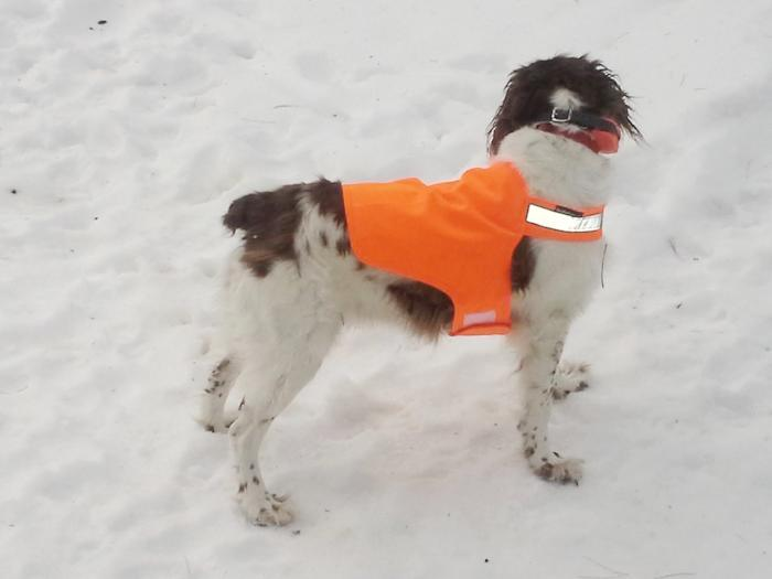 liver and white Brittany dog wearing florescent orange safety vest with reflective color from Dog Not Gone a Maine company