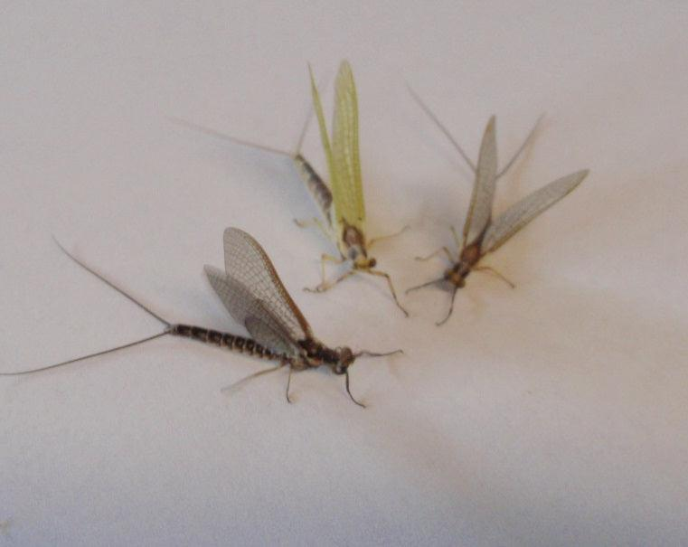 Mayfly & Stonefly Collection