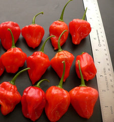 Red Scotch Bonnet Trinidad (CP 024)