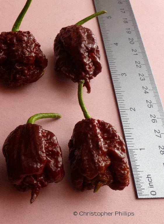 Trinidad Douglah x Trinidad Scorpion Butch T - Chocolate Select Strain (CP 115)
