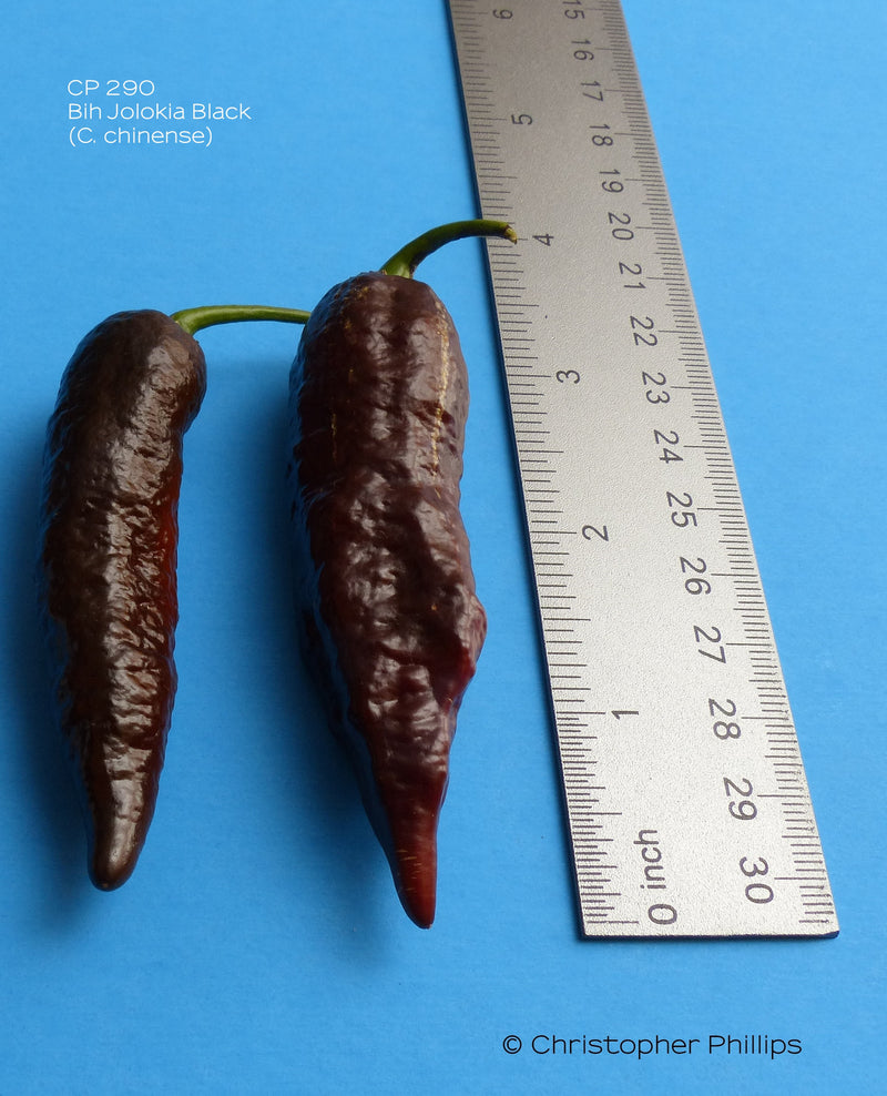Brown Moruga