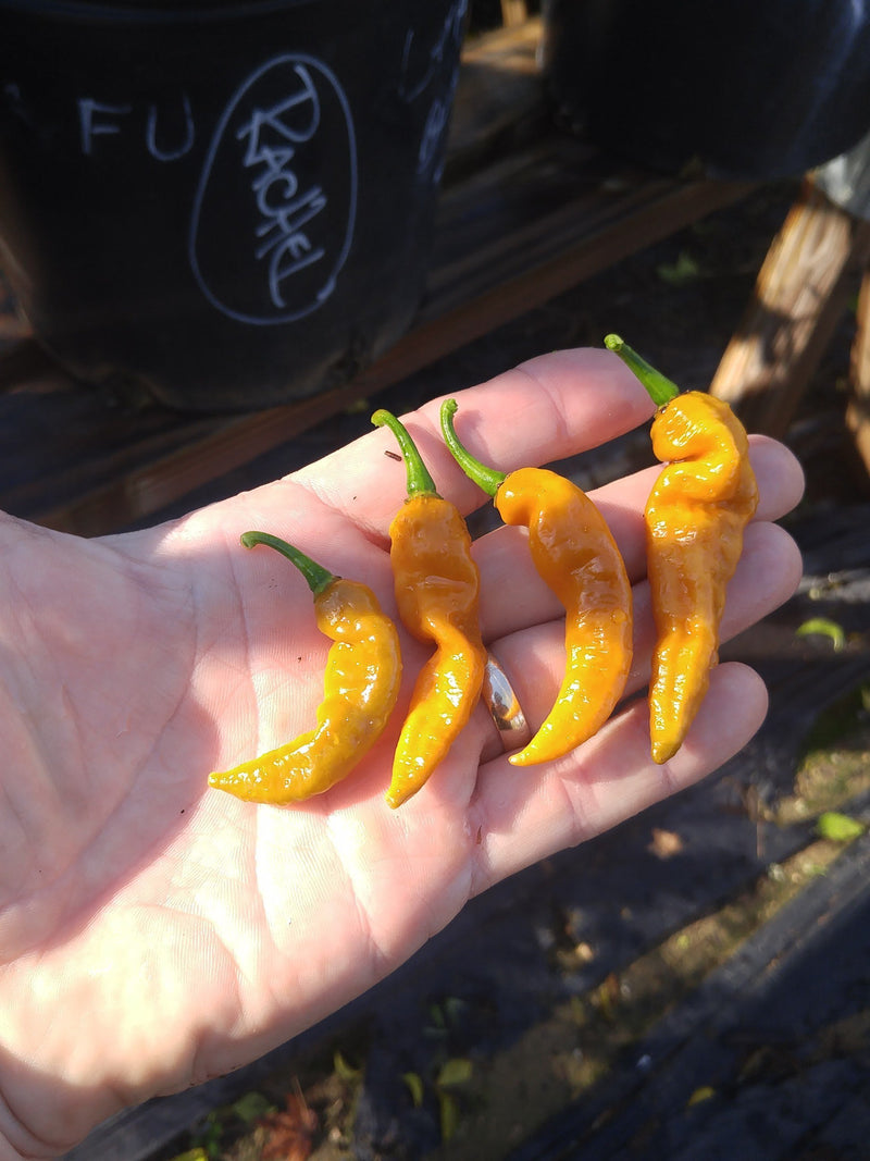 Organic Yellow Crinkle Chile