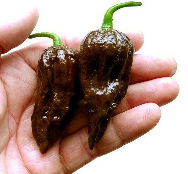 Chocolate Bhut Jolokia (Ghost Pepper)