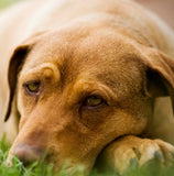 Pet supplements for Borealis Lyme Disease in dogs and cats.