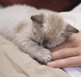 Pet supplements for feline flu and influenza in cats and kittens.