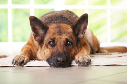 Joint swelling and pain in dogs and cats.