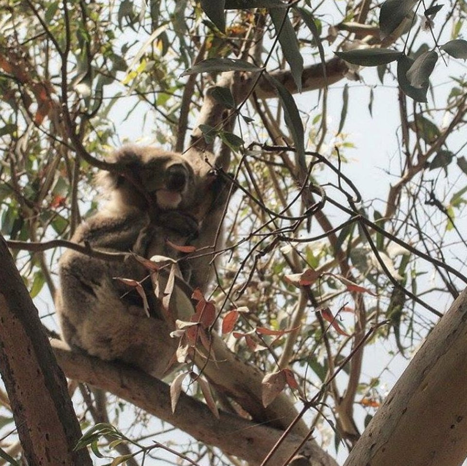 Koala eating roots in Australia
