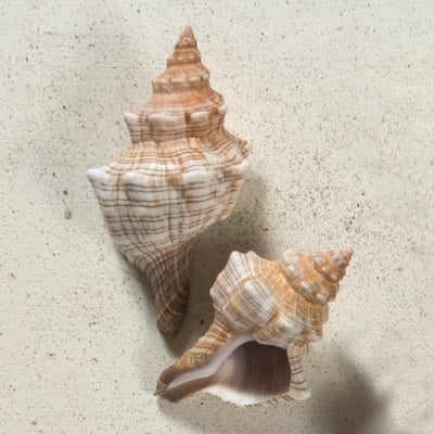 Fox Shell Seashell
