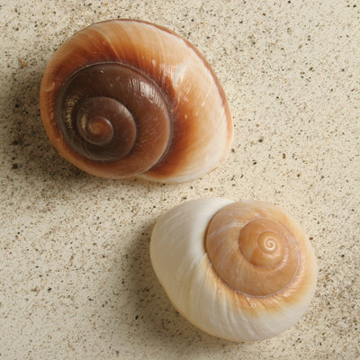 Brown Snail Seashell