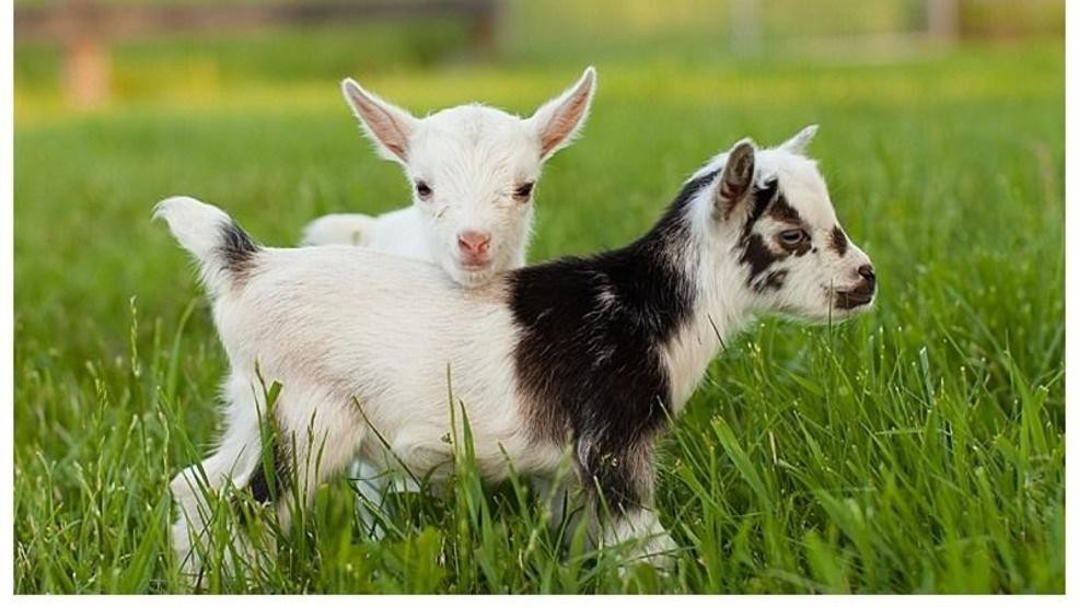 Cute Lesbian Date Night and Gift Ideas for Your Girlfriend Baby Goats