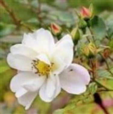 Wild Rose - Flower Essence