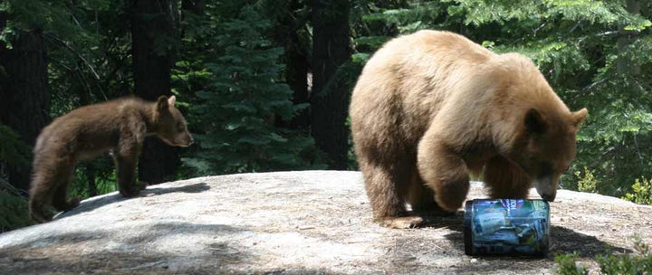 Bear Awareness in the Wilderness
