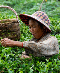 Tea Leaves Picking