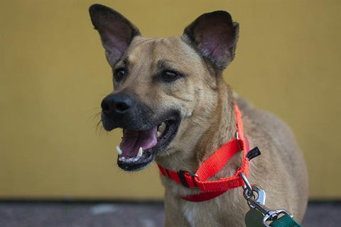 Leon the dog is available for adoption at the Denver Animal Shelter