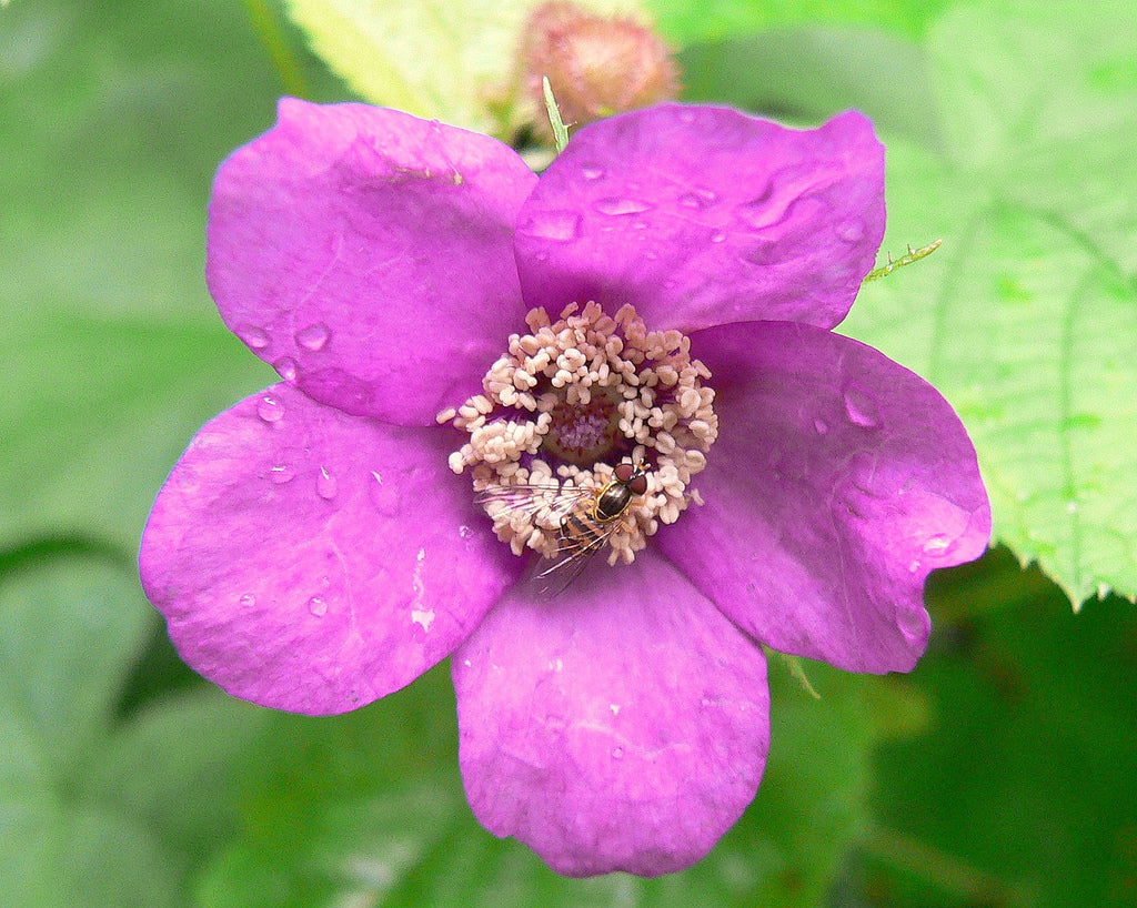 Purple Flowering Raspberry - Rubus odoratus