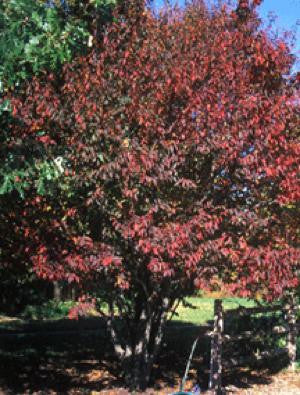 Musclewood or Blue Beech - Carpinus caroliniana