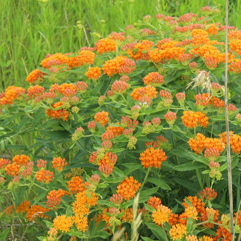 Butterfly Weed - Asclepias tuberosa (32 plants)