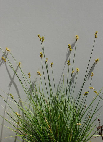 Hop Sedge  - Carex lupulina
