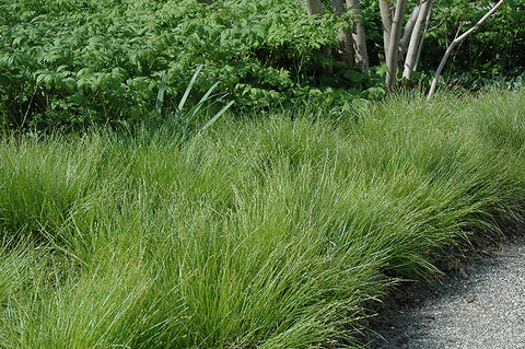 Star Sedge - Carex radiata