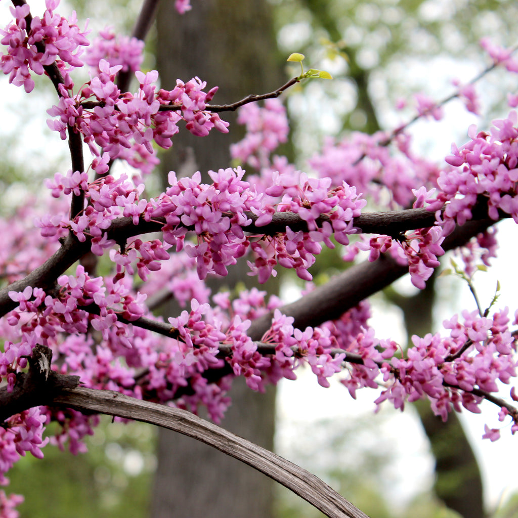 Red Bud - Cercis canadensis