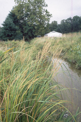 Cord Grass - Spartina pectinata