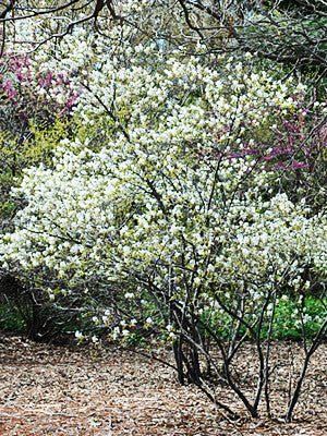 Allegheny Shadblow - Amelanchier laevis