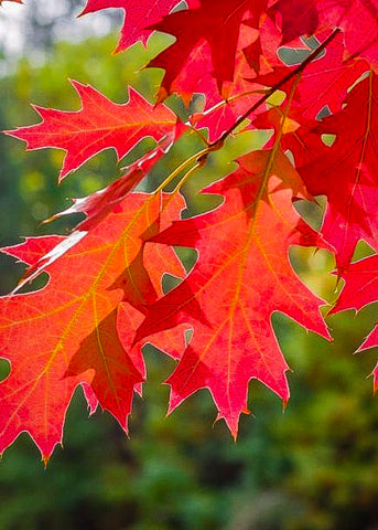Red Oak - Quercus rubra