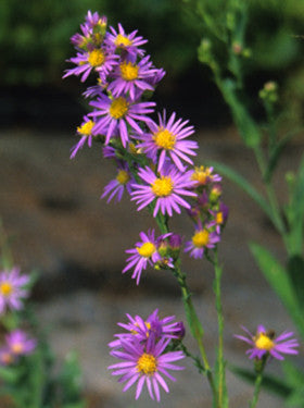 Smooth Aster - Symphyotrichum laeve