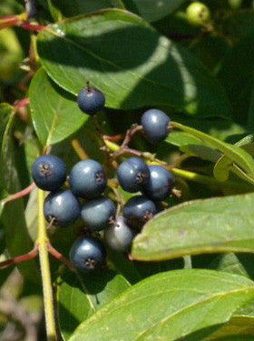 Blue Fruited Silky Dogwood - Cornus obliqua