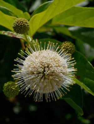 Buttonbush - Cephalanthus occidentalis