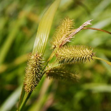 Longhair Sedge  - Carex comosa