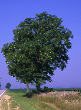 Kentucky Coffee Tree -  Gymnocladus dioica