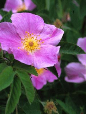 Early Wild Rose - Rosa blanda