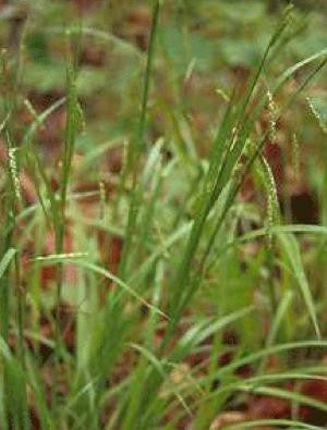 Graceful Sedge - Carex gracillima (32 plants)