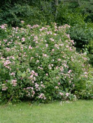 Illinois Rose - Rosa setigera