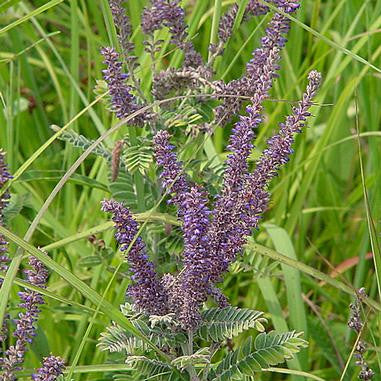 Lead plant - Amorpha canescens