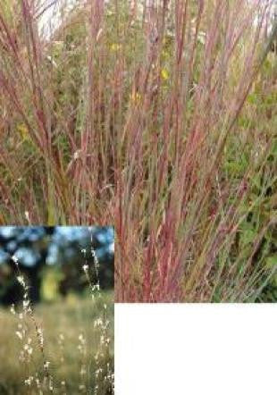 Little Bluestem - Schizachyrium scoparium