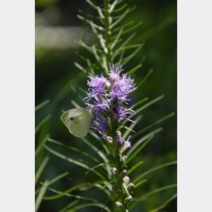 Marsh Blazing Star - Liatris spicata
