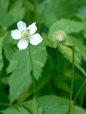 Meadow Anemone - Anemone canadensis
