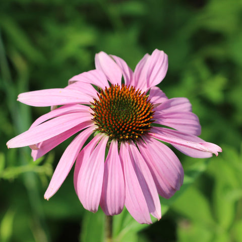 Purple Coneflower - Echinacea pupurea (32 plants)