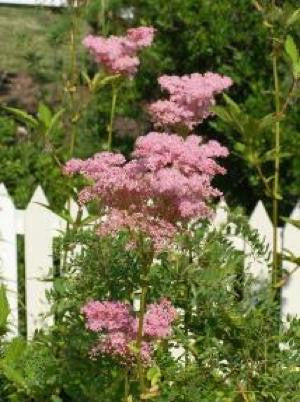 Queen of the Prairie - Filipendula rubra