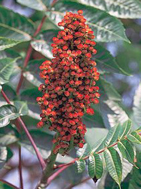 Smooth Sumac - Rhus glabra