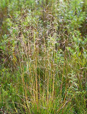 Tufted Hair Grass - Deschampsia cespitosa