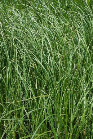 Tussock Sedge - Carex stricta