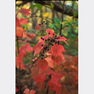 Maple-leaved Viburnum - Viburnum acerifolium (one gallon container size)