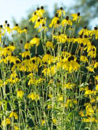 Gray-headed Coneflower - Ratibida pinnata (32 plants)