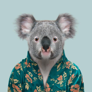 Cooper, the koala, from the Zoo Portraits animal art series created by Yago Partal. This anthropomorphic artwork is a mix of photography, illustration and collage.